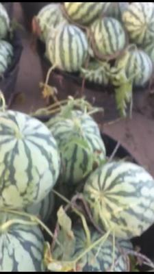 江苏省盐城市东台市美都西瓜 有籽 2茬以上 8成熟 5斤打底
