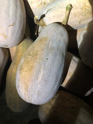 这是一张关于蜜本南瓜 0.7~1.0斤 长条形的产品图片