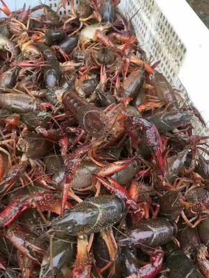 这是一张关于清水小龙虾 塘虾 4-6钱的产品图片