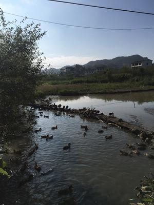 这是一张关于水鸭 统货 全散养 4-5斤 的产品图片