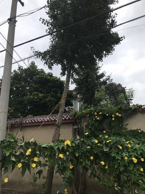 江苏省连云港市赣榆区银杏实生树