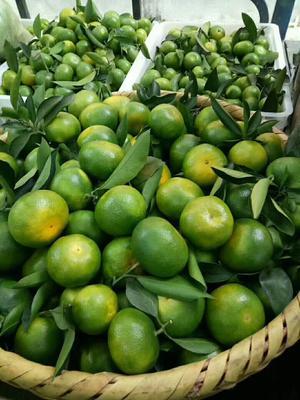 这是一张关于东江湖蜜橘 2.5 - 3cm 1.5 - 2两的产品图片