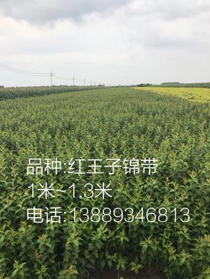 辽宁省辽阳市灯塔市红王子锦带 1~1.5米