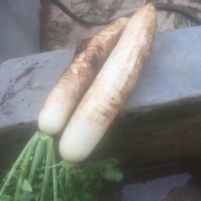 贵州省毕节市威宁彝族回族苗族自治县水果萝卜 2.5~3斤