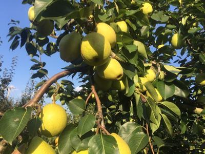 这是一张关于砀山酥梨 250-300g 60mm以上 的产品图片