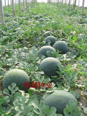 这是一张关于甜王西瓜种子的产品图片