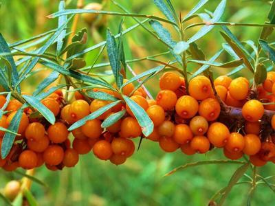 甘肃省定西市漳县沙棘果 橙黄色