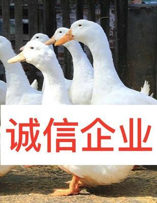 桂柳鸭苗 ……真正诚信的企业店