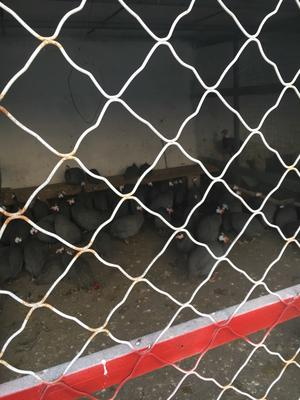 山东省济宁市梁山县灰色珍珠鸡 2-4斤