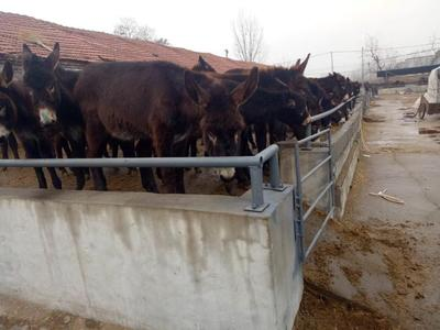 广东省湛江市雷州市育肥驴 200-400斤