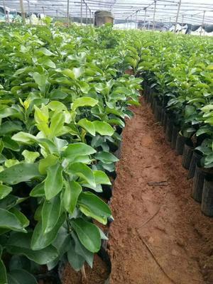 广西壮族自治区桂林市荔浦县柑树苗 0.5米以下