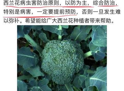 山东省泰安市肥城市炎秀西兰花 0.8~1.2斤 10~15cm