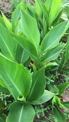 重庆北碚区大花美人蕉 2~4cm 0.5~1米