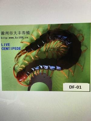 安徽省滁州市琅琊区野生蜈蚣