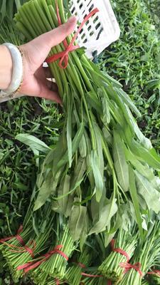 福建省漳州市龙海市泰国空心菜 25 ~ 30cm
