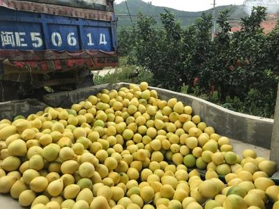福建省漳州市平和县琯溪蜜柚 3斤以上