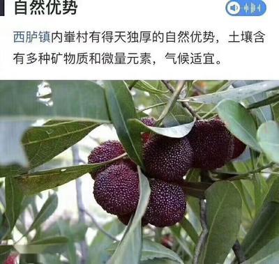 广东省汕头市潮阳区乌酥杨梅 1.5 - 2cm