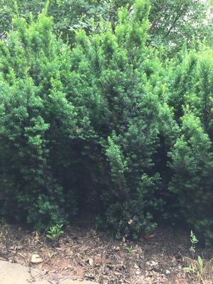 山东省泰安市肥城市曼地亚红豆杉 2.5~3米