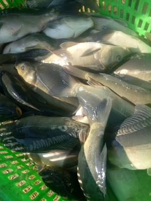四川省凉山彝族自治州西昌市白鲢鱼 人工养殖 1.5-3.5公斤