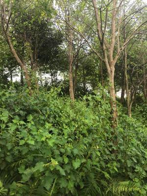 广西壮族自治区钦州市灵山县白木香