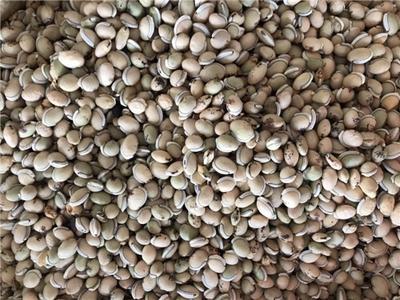 河北省保定市安国市白扁豆 2cm以上 10cm以下