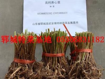 山东省菏泽市郓城县高钙菜种子