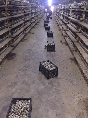 陕西省渭南市临渭区土鹌鹑蛋 食用 箱装