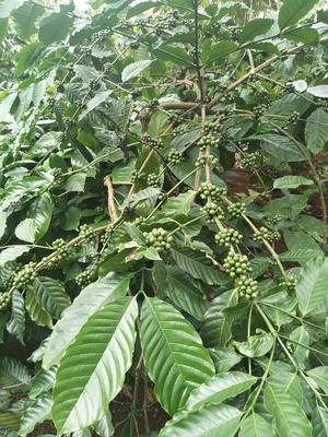 广西壮族自治区崇左市凭祥市越南咖啡豆