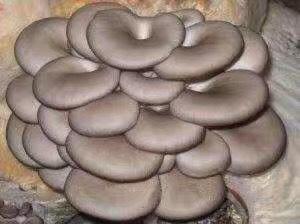 山东省青岛市即墨市鲜平菇 无异色斑点 6cm~8cm ≤5% 无杂质 鲜货