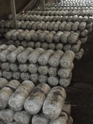 山东省青岛市即墨市鲜平菇 无异色斑点 6cm以下 ≤5% 无杂质 鲜货
