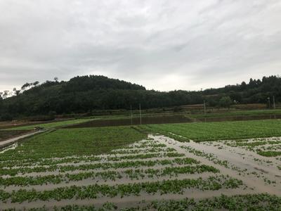 四川省绵阳市三台县速生小白菜 10~15公分