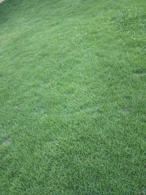 重庆北碚区台湾草皮