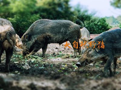 广西壮族自治区桂林市临桂县生态野猪 100斤以上 统货