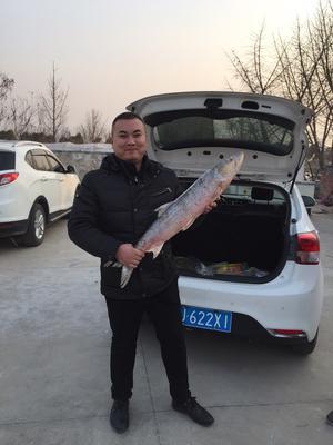 江苏省盐城市东台市白鲢鱼 野生 1.5-3.5公斤