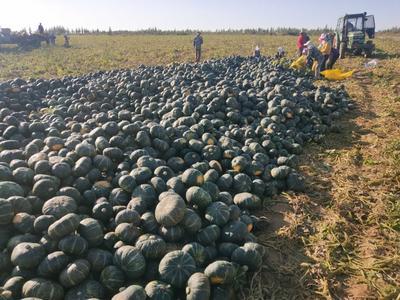 新疆维吾尔自治区阿勒泰地区福海县板栗南瓜 2~4斤 扁圆形
