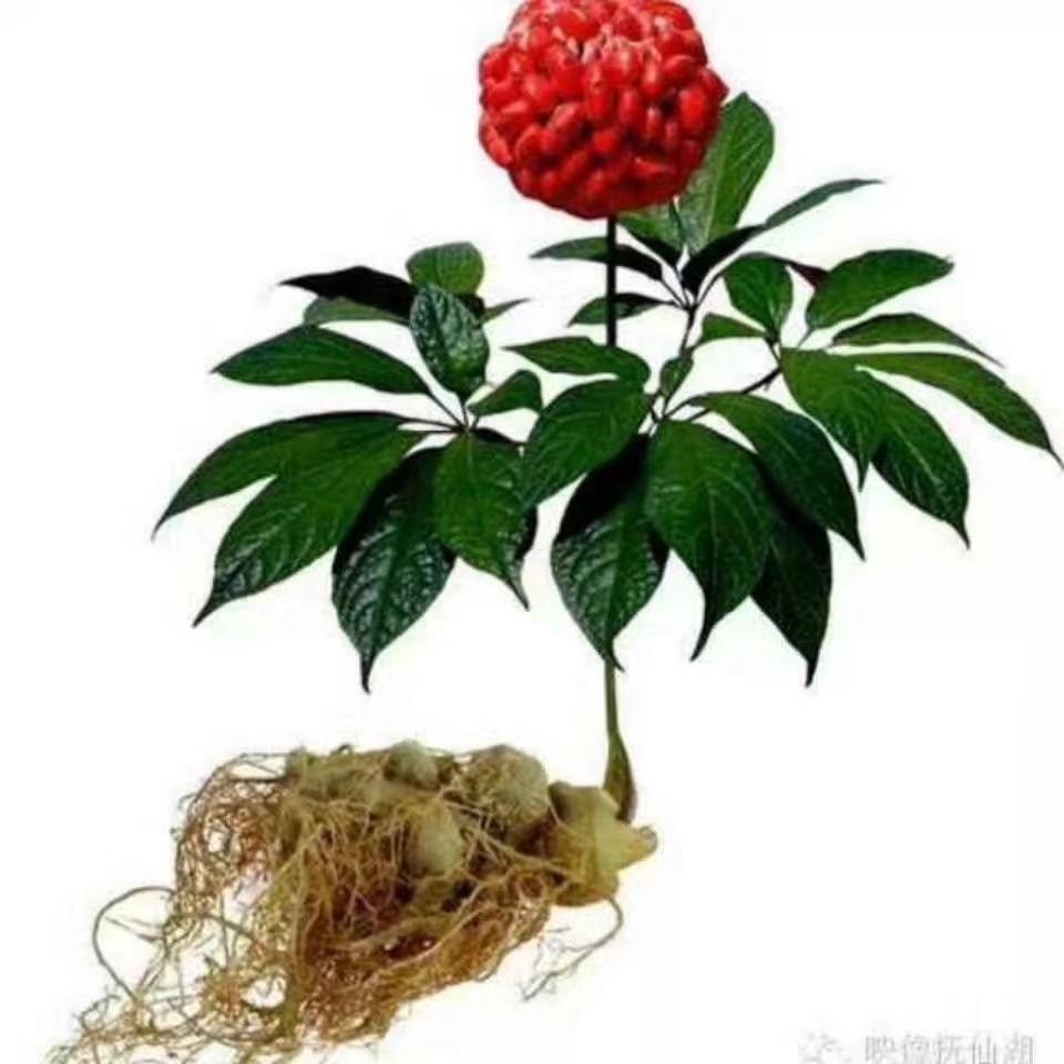 盆栽三七_三七