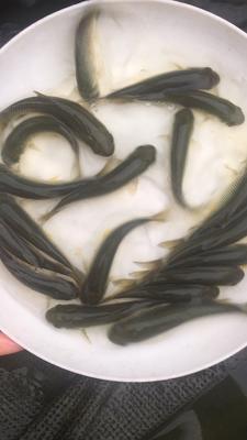 广东省广州市花都区长江草鱼 人工养殖 0.05公斤