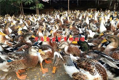 贵州省贵阳市观山湖区大种杂交鸭苗