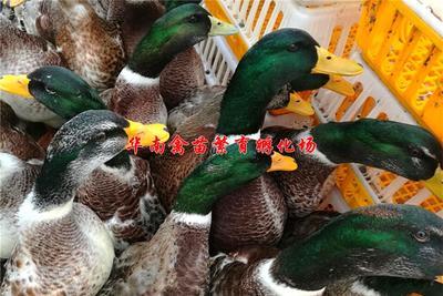 贵州省贵阳市观山湖区麻鸭苗