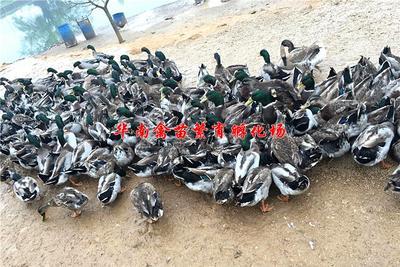 贵州省贵阳市观山湖区绿头野鸭苗