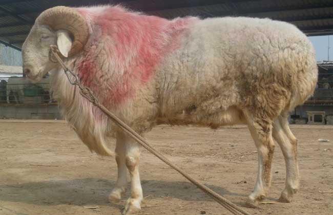 内蒙古绵羊 300斤以上