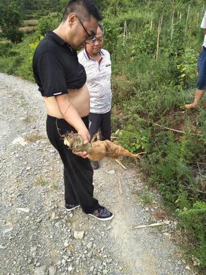 贵州省毕节市金沙县人工种植葛根 4.0-4.5斤