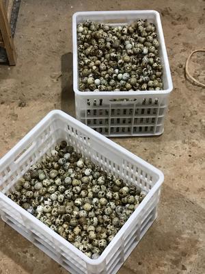 江西省上饶市余干县土鹌鹑蛋 食用 箱装