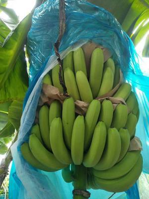 云南省文山壮族苗族自治州马关县巴西香蕉 七成熟 40斤以下