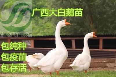广西壮族自治区南宁市兴宁区大白鹅苗