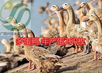 广西壮族自治区南宁市兴宁区江南一号蛋鸭苗