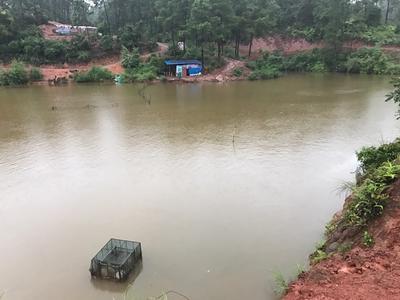 广西壮族自治区南宁市西乡塘区生态草鱼 人工养殖 1.5-3公斤
