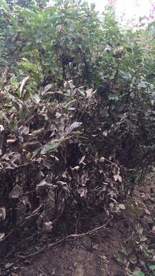 甘肃省兰州市榆中县紫斑牡丹 2cm以下 4cm以下 1~1.5米