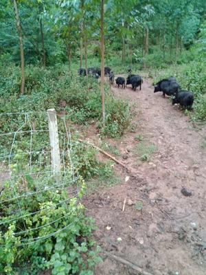 广东省广州市白云区巴马香猪 40-60斤