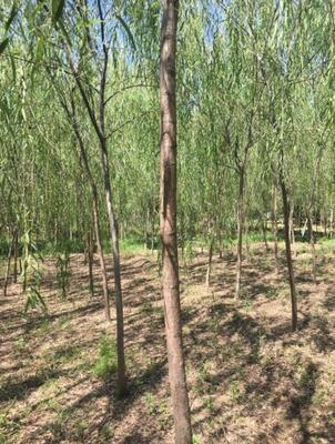 内蒙古自治区巴彦淖尔市乌拉特前旗垂柳